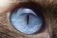 Close-up of the cat eyes are blue and small hairs around the eyes. Selective focus of the blue eyes of siamese cat. Close-up of the cat eyes are blue and small
