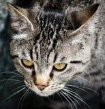 Close-up of cat face. Closeup of head of a cute grey cat Stock Photography