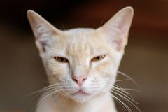 Close up of cat face. Cute pet at home, Thai cat Royalty Free Stock Photo