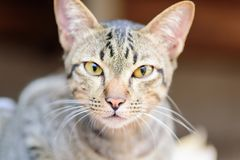 Close up of cat face. Thai cat, cute pets at home Royalty Free Stock Images