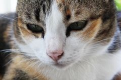 Close up of cat face in relaxation. And rest and drowsy expression royalty free stock photos