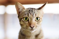 Close up of cat face. Thai cat, cute pest at home Stock Images