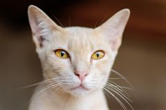 Close up of cat face. Thai cat, cute pet at home Stock Photo