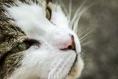 Cat looking intently across the photo. A close up of a cat fixed on something out of frame Royalty Free Stock Photo