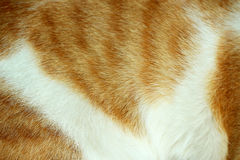 Close-up of cat fur brown fur and white Royalty Free Stock Photos