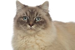 Close up of adorable cat with grey eyes and fur. Close up of cat with grey fur and eyes, having shades of blue in the center, on white background Royalty Free Stock Photography