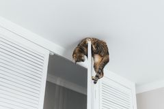 Close-up cat hanging on the door of the closet near the ceiling of the house stock image