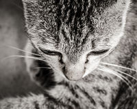 Close up cat head Royalty Free Stock Photo