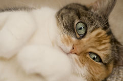 Close up of cat laying on back and staring Stock Images