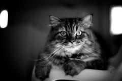Closeup cat looking at camera Stock Photography