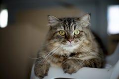 Closeup cat looking at camera Royalty Free Stock Photos