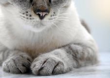 Close-up of cat lying on floor with only partial parts visible. Selective main focus on front feet and nose royalty free stock image