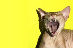 The cat opened its mouth wide. Close-up. The pink Canadian Sphynx sings or screams meow. Close-up. The cat opened its mouth wide. The pink Canadian Sphynx sings Royalty Free Stock Image