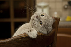 Close-up of the cat is played. Cat british shorthair in funny pose Royalty Free Stock Images