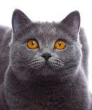 Close-up cat portrait on white Stock Image