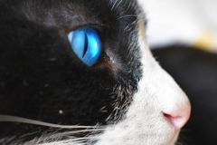 Close up of Cat`s blue eye stock photo
