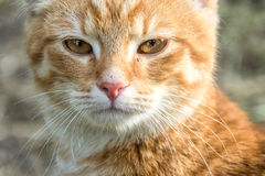 Close up of a cat`s brown eyes. A complete close up of a cat with brown eyes and long, white whiskers glaring at the camera Stock Images