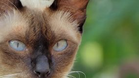 Close-up of a cat`s eye. Thai domestic cat, animal background stock video footage