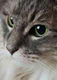 Close up of cat's face. Very close photo of eyes and part of face of a gray long haired cat Stock Photography