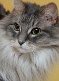 Close up of cat's face. Very close photo of eyes and part of face of a gray long haired cat Royalty Free Stock Photo