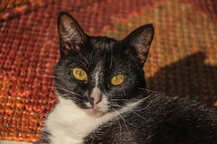 Close-up of cat`s muzzle at sunrise in Paraty. royalty free stock images