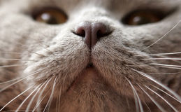 A close-up of a cat's nose Royalty Free Stock Images