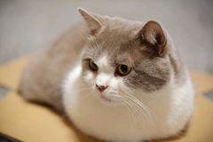 Close up of a cat in small cardboard box. Close up of cute British shorthair cat in lilac-white in a cardboard box stock images