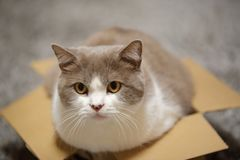 Close up of a cat in small cardboard box looking at camera. Close up of cute British shorthair cat in lilac-white in a small cardboard box looking at camera royalty free stock photos
