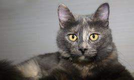 Close up of cat staring at camera Royalty Free Stock Photo