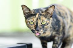 Close up of cat stick tongue out royalty free stock image