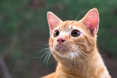 Close-up Cat, Thailand style. Soft focus orange cat, look some thing. Cute cat, cat lying on the wooden floor in the background blurred close up playful cats Stock Photos