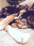 Close up a cat to sleep of vintage color picture Royalty Free Stock Photo