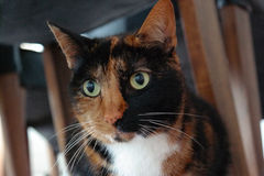 Close up of a cat under a chair Stock Photography