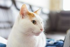 Close up of a cat white and yellow looking left side. stock images