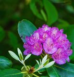 Close-up of a Catawba Rhododendron Flower stock photos