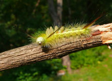 Close-up of Caterpillar 20. A close-up of the very haired yellow caterpillar on rod. Russian Far East, Primorye Stock Image