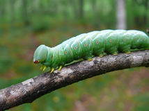Close-up of Caterpillar 21. A close-up of the green caterpillar on rod. Russian Far East, Primorye Royalty Free Stock Image