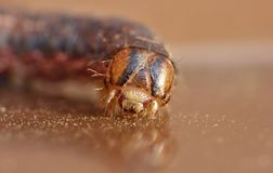 Close Up Caterpillar with Brown and Black Patterns stock photo