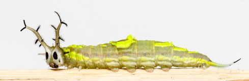 Close up caterpillar of common pasha butterly Royalty Free Stock Photography