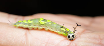 Close up caterpillar of common pasha butterly Royalty Free Stock Photo