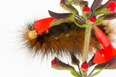 Close up of caterpillar eating red flower petals. Royalty Free Stock Photography