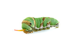 Close up caterpillar isolated on the white background Royalty Free Stock Photos