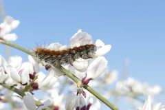 Fuzzy caterpillar on branch, climbing on white flowers with sky background. This is a close up of a caterpillar in its natural habitat, climbing on a plant with Stock Images