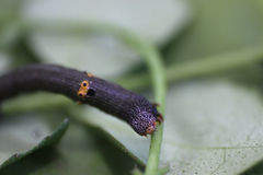 Close up of a caterpillar on a twig Royalty Free Stock Image