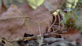 Caterpillar walking among the autumnal leaves stock video footage