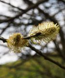 Close up of catkins or male flowers of a pussy willow in april in spring woodland with budding leaves. A close up of catkins or male flowers of a pussy willow in Royalty Free Stock Images