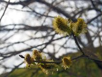 Catkins or male flowers of a pussy willow in april in spring woodland with budding leaves. Close up of catkins or male flowers of a pussy willow in april in Stock Photo