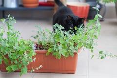 Close up of catnip and black cat walking around Royalty Free Stock Photo