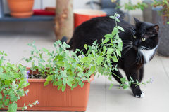 Close up of catnip and black cat walking around Royalty Free Stock Images