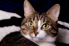 Close up of cats face. Close-up portrait of a cat lying on a coverlet Royalty Free Stock Photography